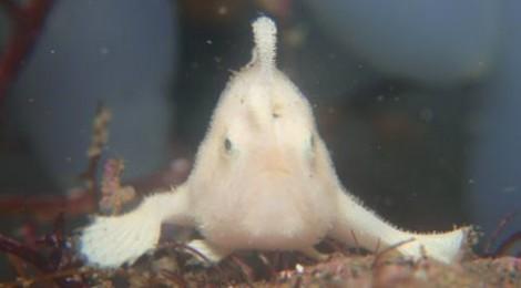 白ちびカエル 抱卵イソコンペイトウガニ
