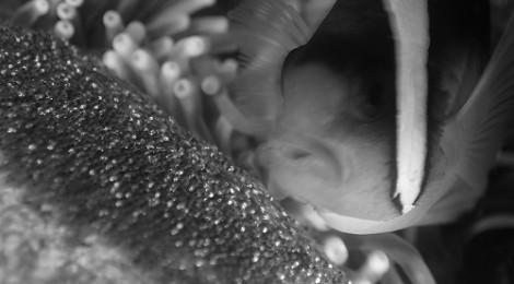 2013.8.10 卵を守るクマノミ