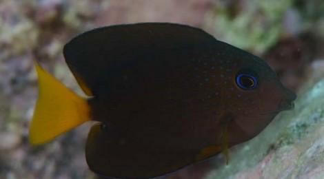 2013.9.6 コクテンサザナミハギの幼魚