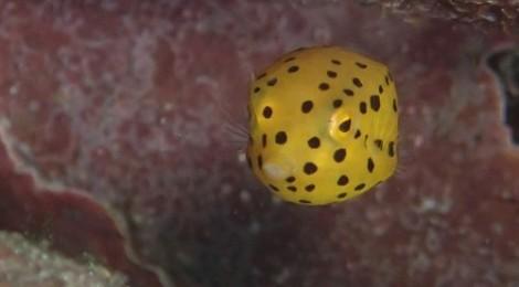 2013.9.5 ミナミハコフグとハコフグの幼魚