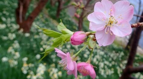 2014.2.4 大瀬に行く途中の河津桜が開花しました