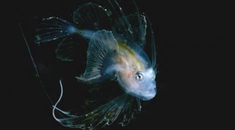 2014.4.25 キアンコウ幼魚フィーバー