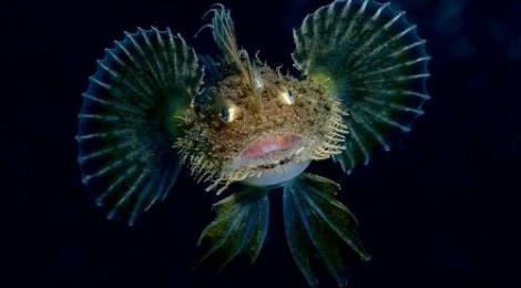 2014.4.6 キアンコウ幼魚フィーバー