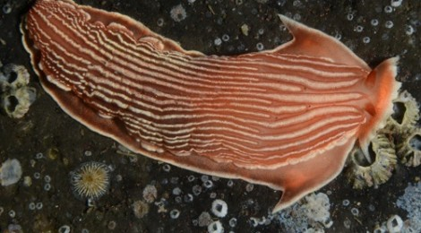 2014.7.22 デルマトブランクス・ルビダス Dermatobranchus rubidus(Gould,1852)