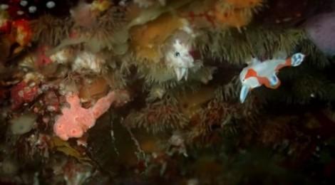 2014.8.18 白いクマドリカエルアンコウとピンクのオオモンカエルアンコウの奇跡の幼魚コラボ