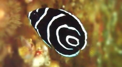 2014.10.29 タテジマキンチャクダイの幼魚