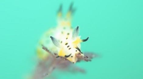 2015.5.28 フジタウミウシ属の一種