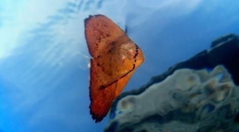 2015.9.4 ナンヨウツバメウオ幼魚、ウミウシ41種