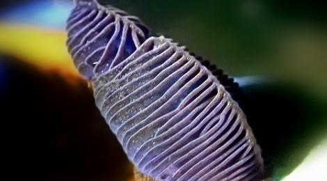 2016.6.25 スルガリュウグウウミウシの頭触角