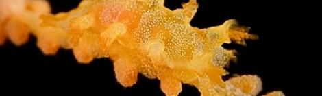 ホクヨウウミウシ属の一種(みかんほくよう)
