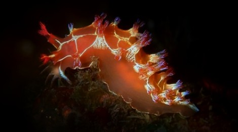 2016.9.22 ホクヨウウミウシ属の一種 赤バージョン