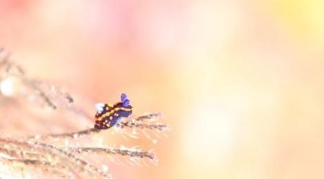 2016.11.7 トサカリュウグウウミウシのおちびちゃん♪