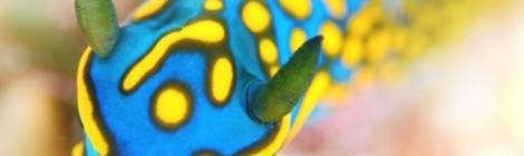 2017.4.7 美しい青を持つサガミリュウグウウミウシ