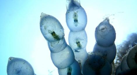 2017.7.25 アオリイカの卵 生命の神秘