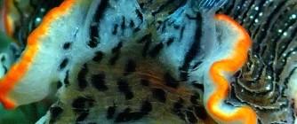 2017.9.18 オセザキオトメウミウシ