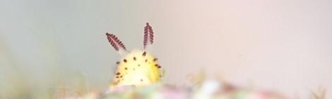 2017.12.12 ゴマフビロードウミウシ、極小純白の美しいベニカエル