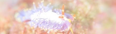 2018.6.9 ムラサキミノウミウシ