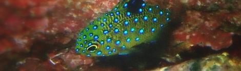 2020.9.28 極小ミアミラ健在 ルリホシスズメダイ幼魚