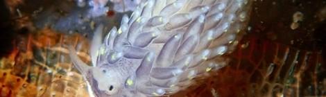 2021.1.13 カスミミノウミウシ属の一種 超美しい  50種弱